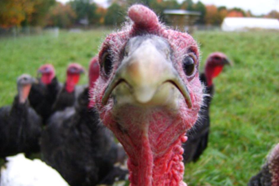 Gang of nervous turkeys seek gainful employment at General Conference