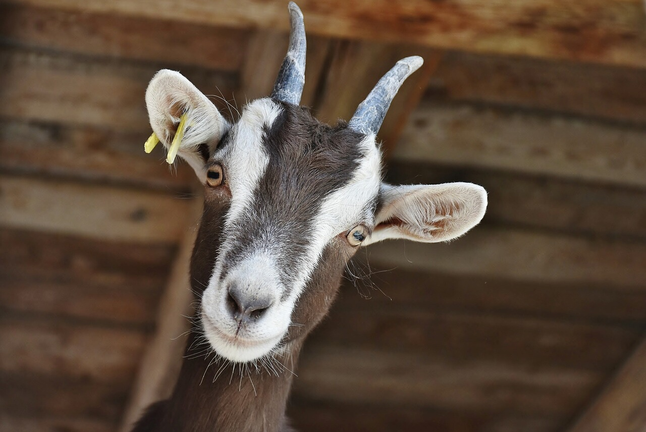 ADRA's Twitter Account Hacked, Promises Free Goats For Retweets