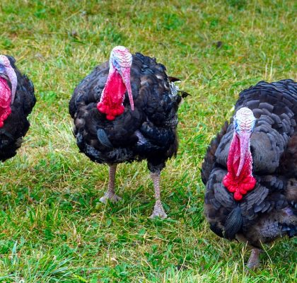 Turkeys Urge Americans Not To Travel For Thanksgiving
