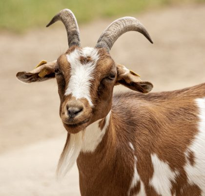 Return Policy Not Great On ADRA Gift Catalog Goats